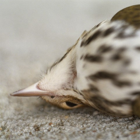 close-up of songbird lying on its back on the sidewalk